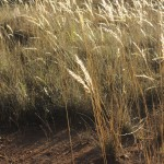 Common Wallaby Grass_036Common Wallaby Grasssmall